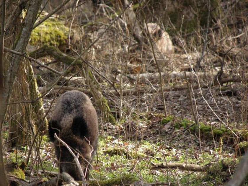 Een Zwijn in de Bos